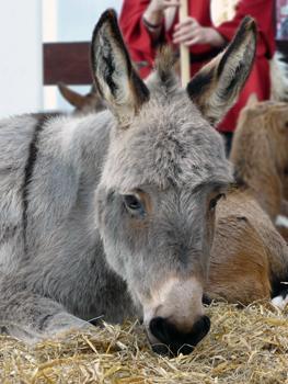Volgens Wethouder Bert van Alphen zijn ezels herkauwers !!!